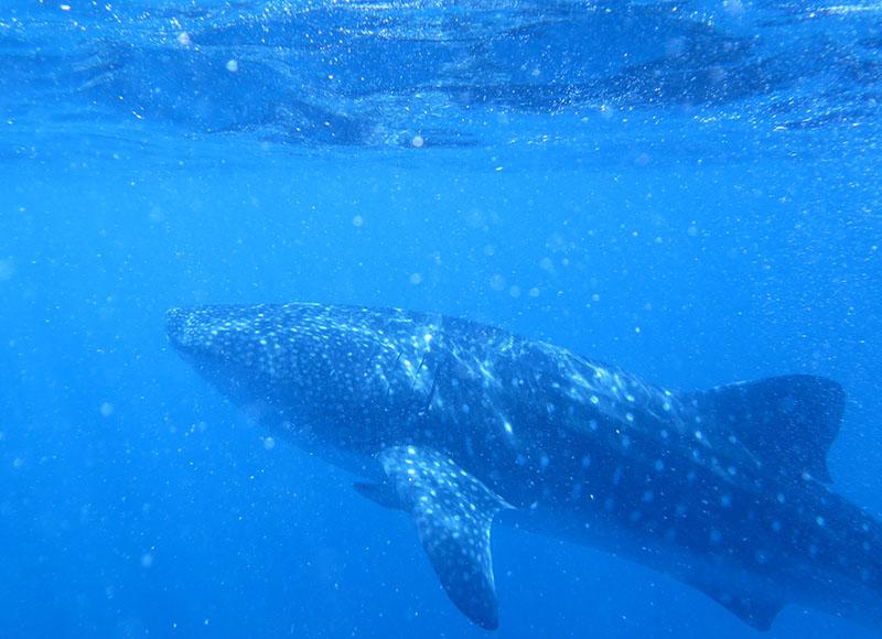 brotrip_whale shark_makassar_pic