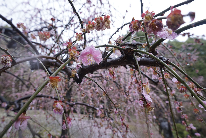 plumblossom sakura